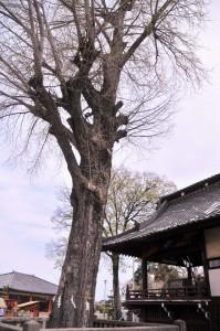 諏訪神社のイチョウ
