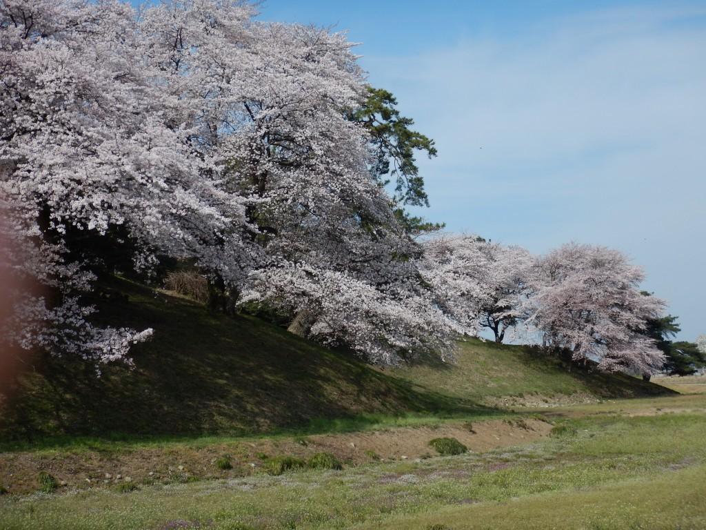 七輿山古墳の桜