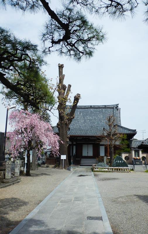 西蓮寺の大イチョウ