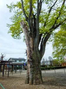 藤岡市中央公園のケヤキ(東側)